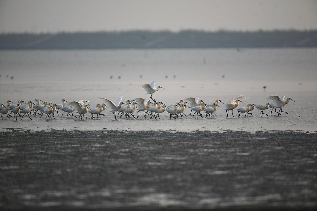 湿地李生活的黑面琵鹭